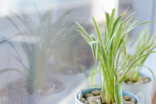 Spider Plant (Chlorophytum) In...