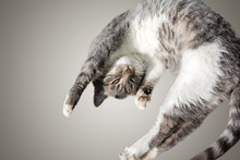 Flying Or Jumping Funny Tabby Kitten Cat Isolated On White And Gray Background. Copy Space. Greeting Card Template