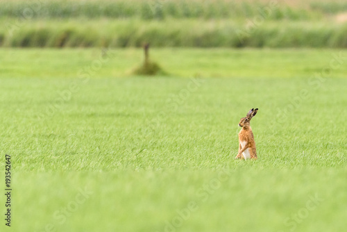 Fotografie, Obraz A hare is standing up in a field