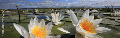 Aluminium Prints Water lilies water lilies on the lake