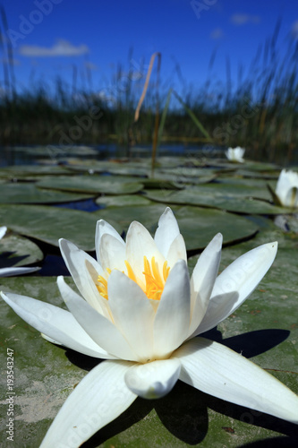 Poster de jardin Nénuphars water lilies on the lake