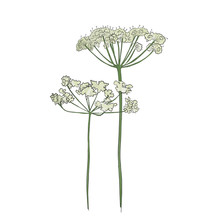 Hand Drawn Cow Parsley, Vector