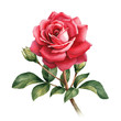 canvas print picture - Watercolor illustration of rose flower