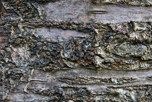 Fotografie, Obraz  Bark in detail of a sour cherry tree
