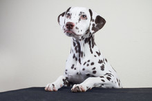 The Dalmatian Dog Rests His Pa...