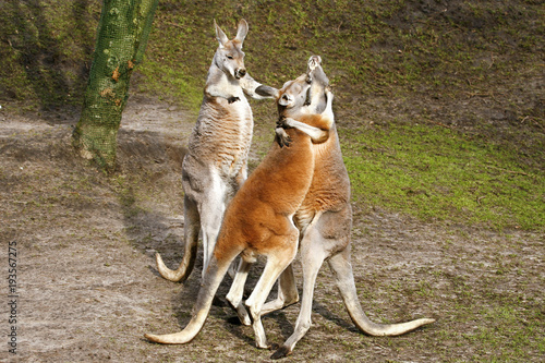 Door stickers Kangaroo Juf kangoeroe wil ruzie stoppen.