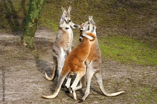 Poster Kangaroo Juf kangoeroe wil ruzie stoppen.