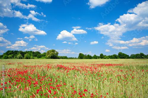 Foto op Canvas Klaprozen Sommerlandschaft, Gerstenfeld voller Mohnblumen, blauer Himmel mit Wolken, ökologische Landwirtschaft