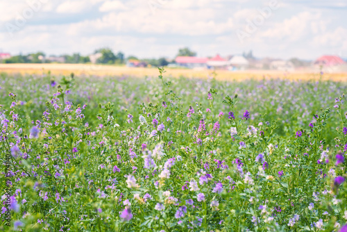 Green summer agricultural field with blossoming alfalfa (medicago sativa) or luc Canvas Print