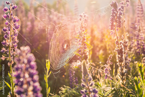 Sunny spiderweb with spider in the summer meadow of blossoming violet lupine flowers, natural shiny background