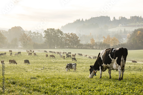 Fotobehang Koe Red and black Holstein cows are grazing on a cold autumn morning on a meadow in Switzerland