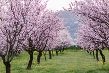 Garden With Blooming Almonds A...