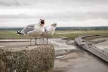Two Seagulls Singing And Screa...