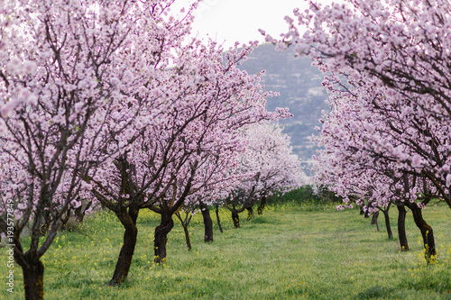 garden with blooming almonds and cherry trees плакат