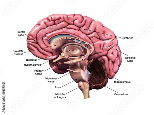 Fotografía Human Brain Sagittal Section with Labels