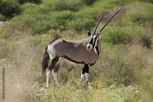 Keuken foto achterwand Antilope Gemsbok, Oryx gazella, Kgalagadi Transfrontier Park, Kalahari desert, South Africa