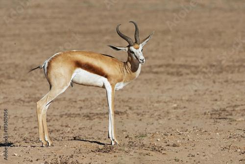 Springbok, Antidorcas marsupialis, Kgalagadi Transfrontier Park, Kalahari desert, South Africa