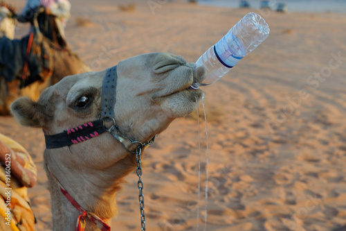 Drinking camel / A camel is sipping water from a bottle, Wadi Rum, Jordan