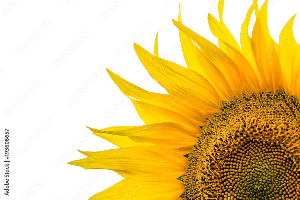 Corner close-up of sunflower leaves on white background