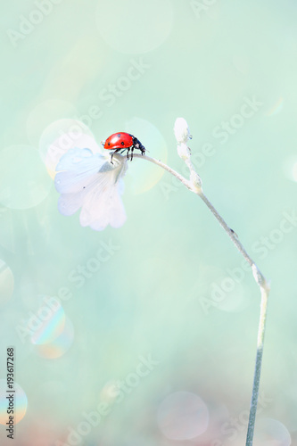Red Ladybug likes to explore new flowers of a beautiful smell.