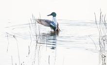 Shoveller Duck Cleaning Itself