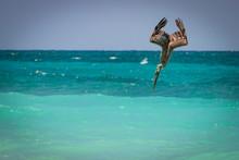 Brown Pelican's - Pelecanus Oc...