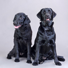 Black Labradors On A Gray Back...