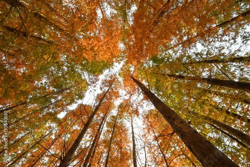 autumn foliage trees, Surrounded by Tall Trees, low angle shot © Yeongsik Im