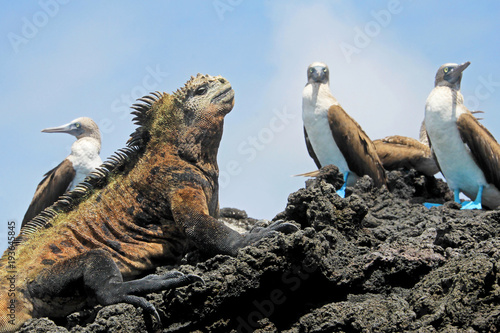 Marine iguana with blue footed boobies, booby, Sula nebouxii and Amblyrhynchus cristatus, on Isabela Island, Galapagos, Ecuador, South America