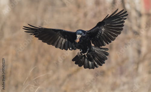 Valokuva  Rook bird on field