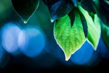 Green Backlit Leaves Against A Blue Bokeh Background