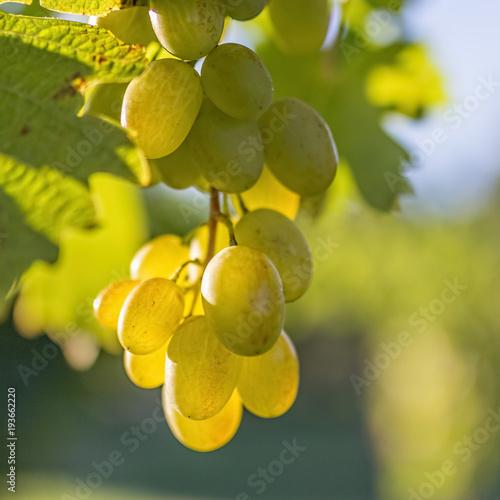 White grape Fototapete