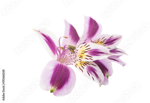 Foto op Plexiglas Magnolia Alstroemeria isolated