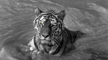Tiger posing like a model BW