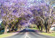 Purple Jacaranda Trees Flowering In A Street.