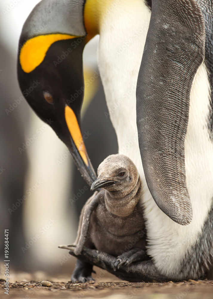 Close up of King penguin chick sitting on the feet of its parent