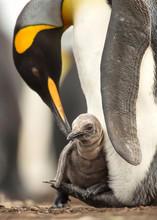 Close Up Of King Penguin Chick...
