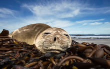 Close Up Of A Young Southern Elephant Seal Sleeping On A Sandy Beach