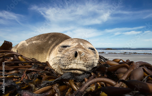 Photo  Close up of a young Southern Elephant seal sleeping on a sandy beach