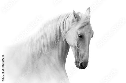 Obraz Portret białego konia na białym tle - fototapety do salonu