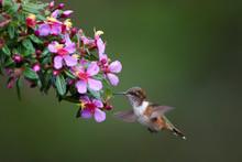 Volcano Hummingbird, Selasphorus Flammula, Very Small Bird, Endemit To Mountains Of Costa Rica, Feeding On Nectar. Female Hovering Over Tiny Pink Flowers. Cordillera De Talamanca, Costa Rica.