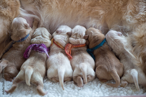 Newborn puppies feeding  Golden Retrievers, one day old with