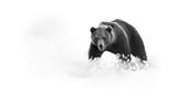 Artystyczna, czarno-biała fotografia dzikiego niedźwiedzia brunatnego, Ursus arctos, ogromna samiec na arktycznej łące zakrywającej na kwitnącej trawie gapi się bezpośrednio przy kamerą. Fotografia dzikiej przyrody w tajdze - 193712681