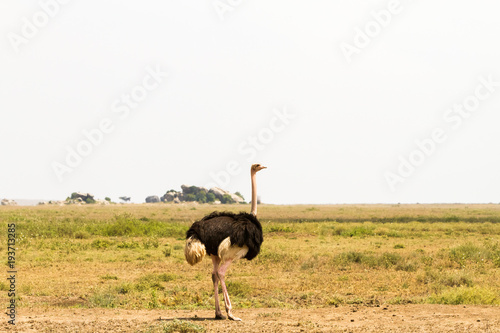 Poster Struisvogel The ostrich or common ostrich (Struthio camelus) is either one or two species of large flightless birds native to Africa, the only living member(s) of the genus Struthio, which is in the ratite family