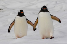 Gentoo Penguin Pair In South S...