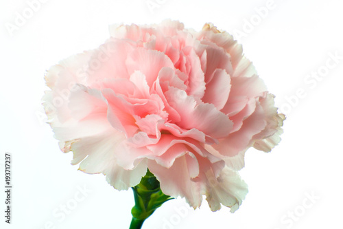 Photo Beautiful blooming pink carnation flower close up