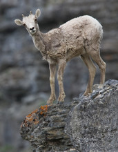 A Young Bighorn Sheep Surprise...