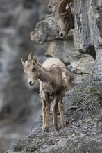 A Young Bighorn Sheep Near Going To The Sun Road In Glacier National Park, Montana.