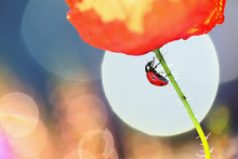 The Red Poppy And Underneath A...