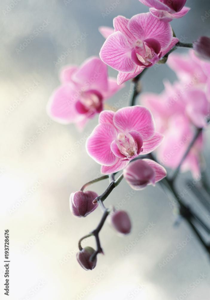 Obraz Storczyki różowe fototapeta, plakat